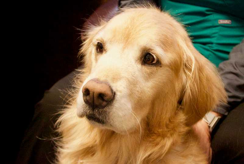 OUTLOOK PHOTO: CHRISTOPHER KEIZUR - Akina, a perky golden retriever, works as a service dog at the Adventist Health Rockwood Urgent Care Clinic.