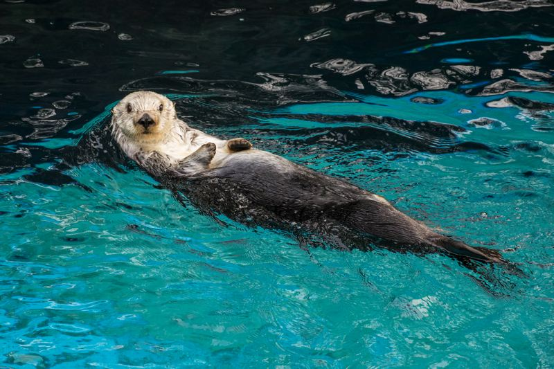 COURTESY PHOTO:MICHAEL DURHAM/OREGON ZOO - Eddie the sea otter was about 21 years old when he died Thursday, Dec. 20.