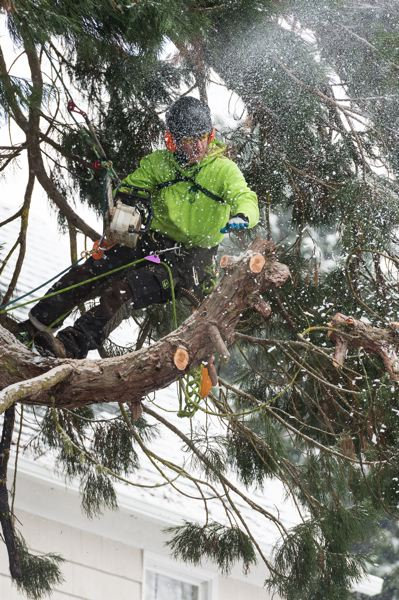 STAFF PHOTO: CHRISTOPHER OERTELL - During a February snowstorm, climbing arborist Eric Brockmeyer cuts the limbs off of a sequoia tree being removed from a front yard on 18th Avenue in Forest Grove.