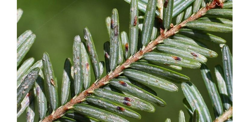 PHOTO COURTESY OSU EXTENSION - Elongate hemlock scale feeds upon the underside of conifer needles, according to the Oregon Department of Forestry.