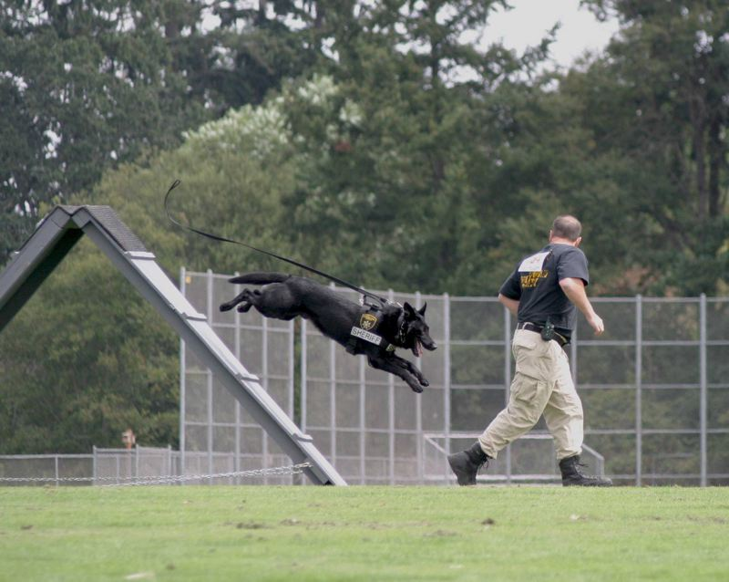 CONTRIBUTED PHOTO: MULTNOMAH COUNTY SHERIFFS OFFICE  - Varro competes in an agility contest.