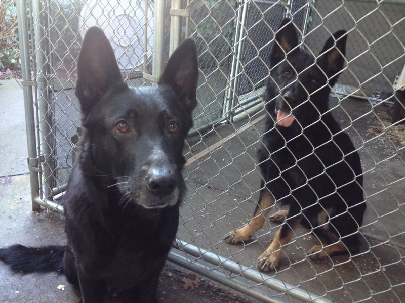 CONTRIBUTED PHOTO: MULTNOMAH COUNTY SHERIFFS OFFICE  - MCSO K9 unit Varro, left, poses for a photo with his replacement another German shepherd, Ranger.