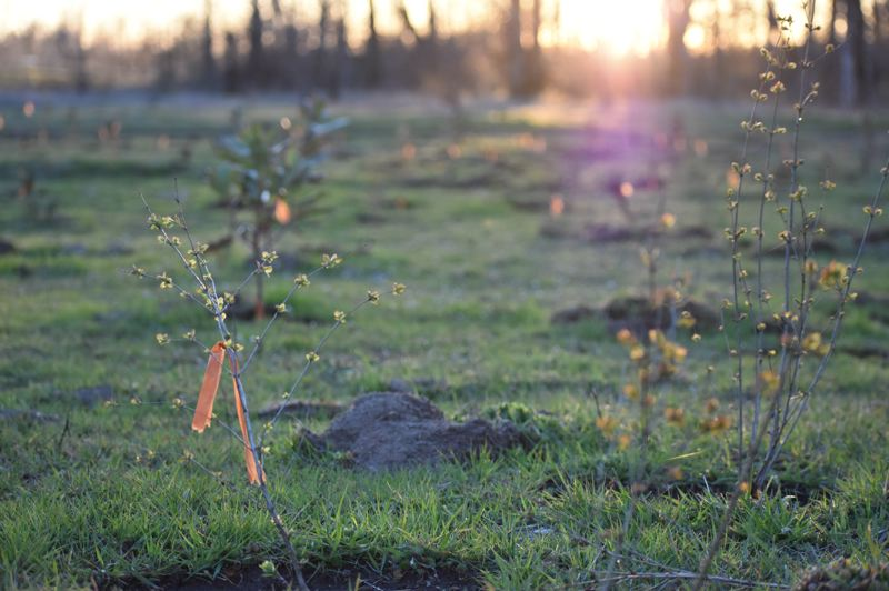 CONTRIBUTED PHOTO - In 2018, 854 volunteers at the Sandy River Delta planted more than 5,200 regionally native trees and shrubs. A total of 2.1 million trees and shrubs have been planted at the Delta since 2001.