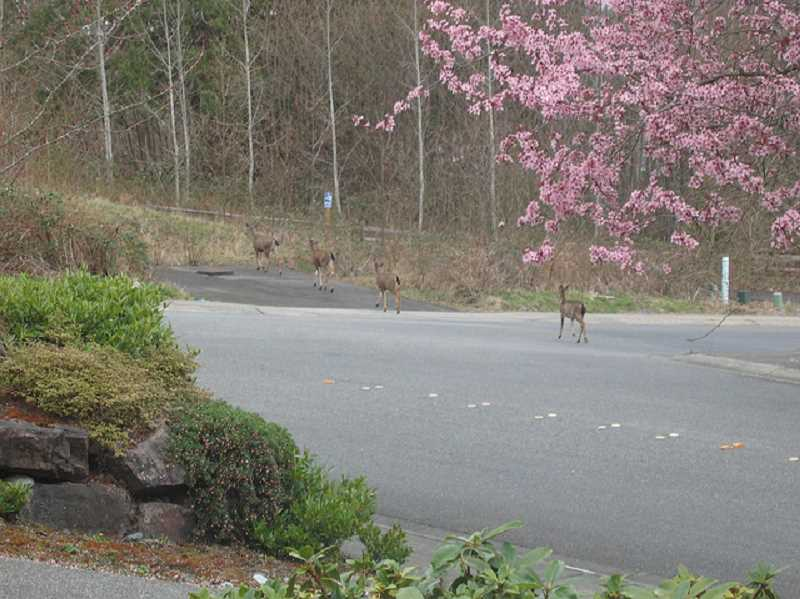 (Image is Clickable Link) DAVID SCHOTT - Blacktail deer in Redmond, Washington.