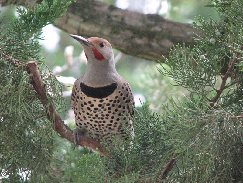 COURTESY OF THOMAS MEINZEN - Northern flicker are large and handsome woodpeckers that forage on the ground and are especially fond of ants. You can attract them with hulled sunflower seeds, shelled peanuts or suet.
