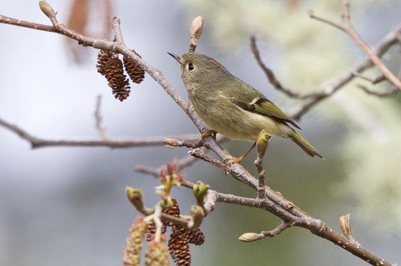COURTESY OF OWEN SCHMIDT - Ruby-crowned kinglets are one of the smallest songbirds in North America, are voracious insect-eaters; you can attract them with seed, dogwood berries, suet or shelled peanuts.