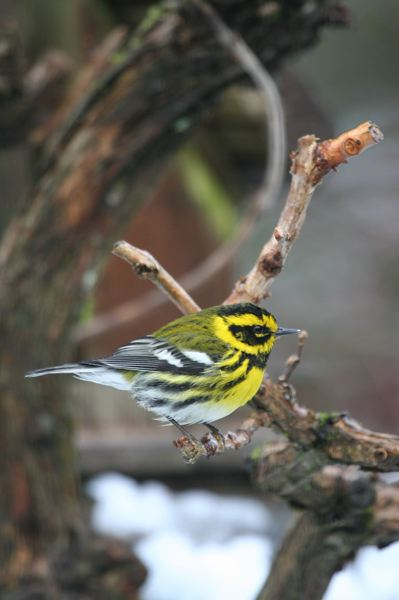 COURTESY OF ED MCVICKER - Townsend's Warblers eat mostly insects and spiders but will eat seeds and berries in the fall and winter. Suet, as well as the sound of water dripping, are both excellent ways to attract these dazzling and colorful birds.