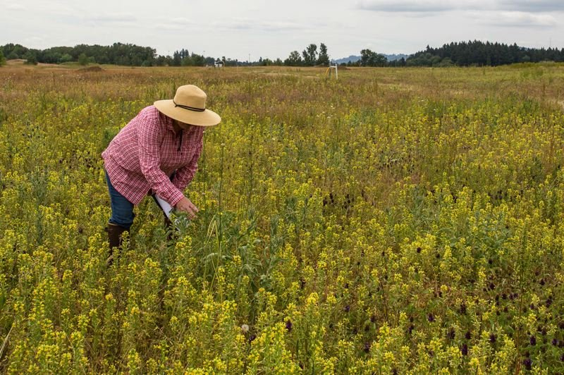 COURTESY OF METRO  - Elaine Stewart, a Metro scientist, has been working at Smith and Bybee Wetlands Natural Area for 20 years. Much of that time her attention has been focused on finding ways to restore the land at St. Johns Landfill.
