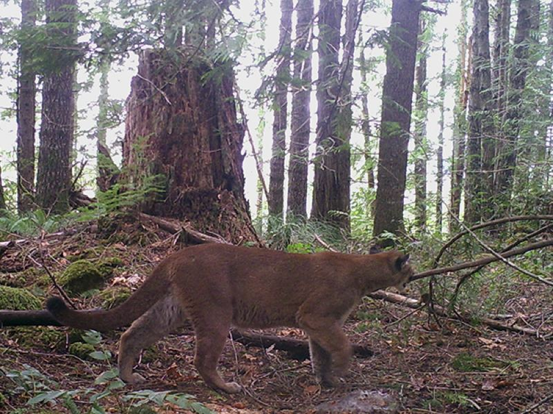 COURTESY ODFW - A cougar in Oregon, back in 2015.