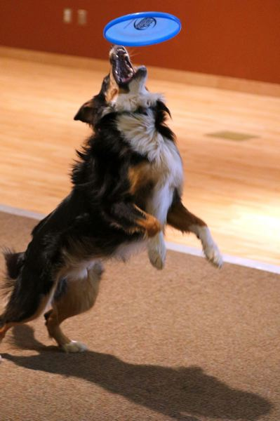 PAMPLIN MEDIA GROUP FILE PHOTO - Reed the Border collie leaps for a Frisbee during a 2016 demonstration at Tigard Public Library. A bill introduced in the 2019 legislative session would make Border collies the official state dog.