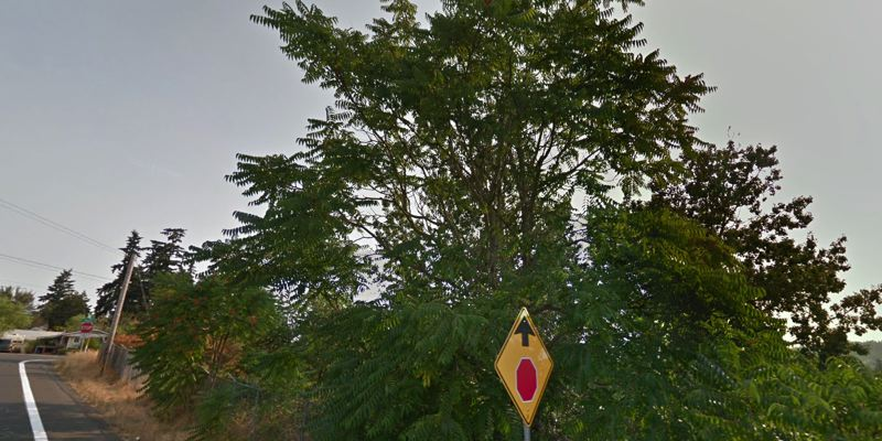 PHOTO COURTESY GOOGLE MAPS - A large Tree of Heaven specimen of an invasive species from China seen from Bell Avenue in northern Clackamas County.