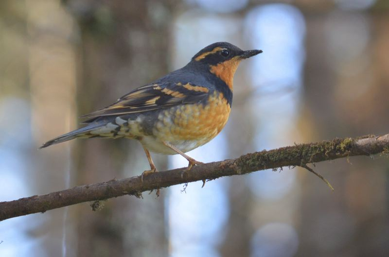 PHOTO COURTESY OF BEN PHALAN, FEDERAL UNIVERSITY OF BAHIA IN SALVADOR, BRAZIL. - A varied thrush, one of several bird species often dwelling in old Northwest forests whose populations haven't rebounded since the Northwest Forest Plan's adoption a quarter-century ago.