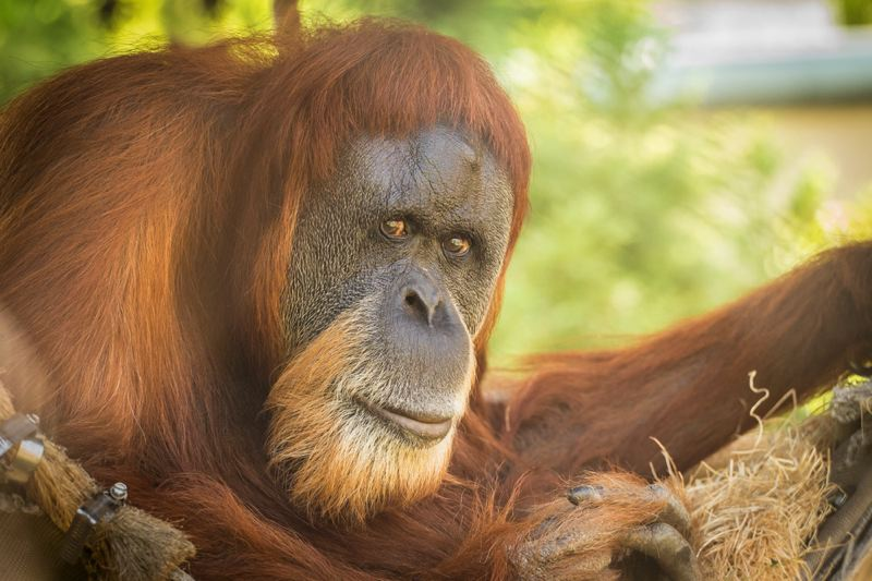 COURTESY: MICHAEL DURHAM/OREGON ZOO - Inji, the Oregon Zoo's Sumatran orangutan, turned 59 in January. She's in great health, keepers say.