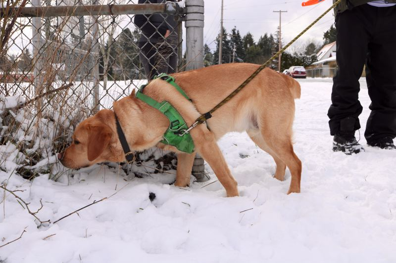 TRIBUNE PHOTO: ZANE SPARLING - Winston, a 20-month old English Lab, noses around the slush in Portland on Saturday, Feb. 9.