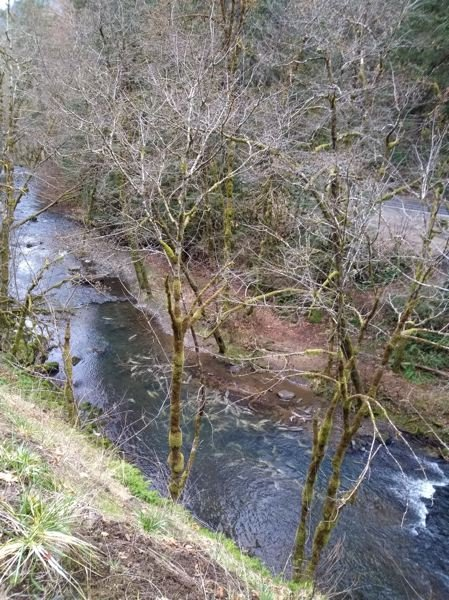 SUBMITTED PHOTO: JOEL HAUGEN - Nearly 100 fish carcasses float in a Scappoose creek after being placed there as part of a stream enrichment program through Oregon Department of Fish and Wildlife.