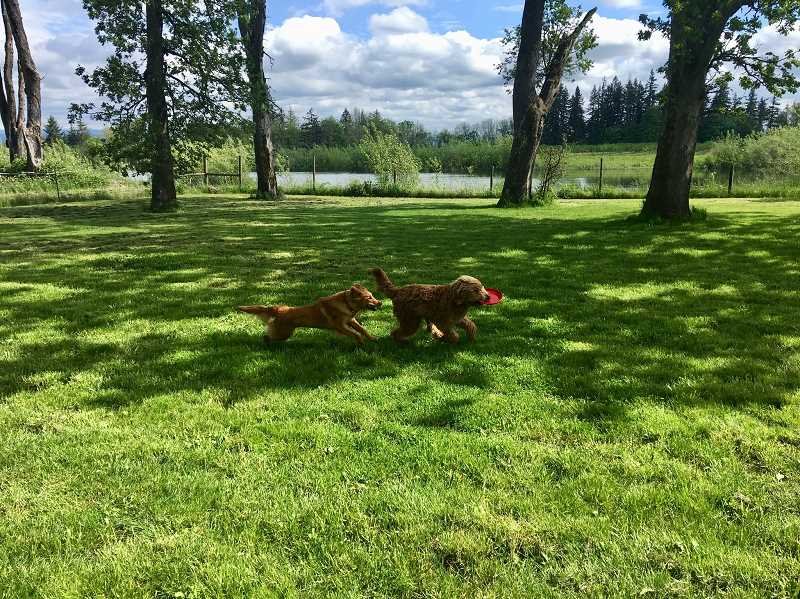 COURTESY OF MELINDA HAMMELMAN - The 1.5 acre rural Clackamas County property affords boarding dogs plenty of room to run and play.
