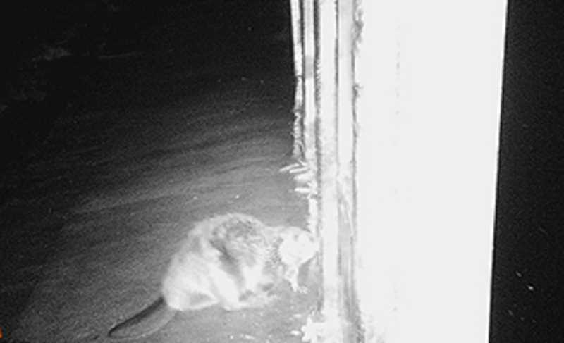 SUBMITTED PHOTO - A beaver, which had been chewing on the flashboards on the fish passage, was caught on camera at Opal Springs. Later, the beaver was caught in a trap, but escaped within 12 minutes.