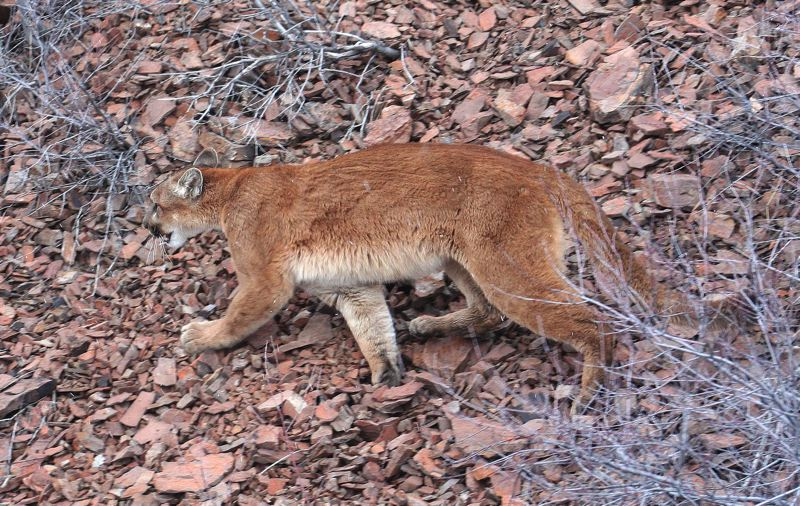 ODFW PHOTO - A cougar in the wild. Oregon wildlife authorities say cougar reports have seen a spike, indicating the wildcats population may also be increasing, but they dont track cougar populations by region.