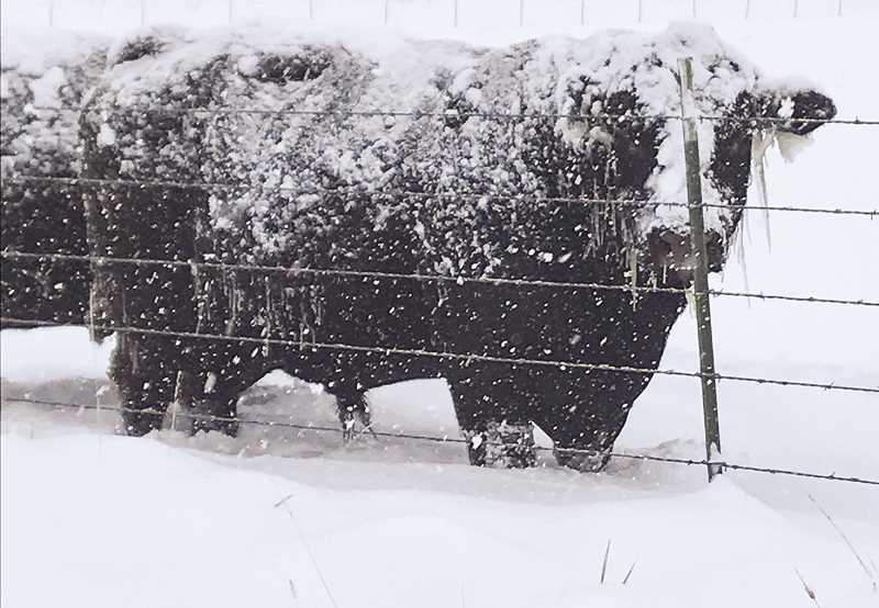 PHOTO COURTESY OF AMANDA BJORVIK  - Icicle-faced cattle face the wrath of the storm.