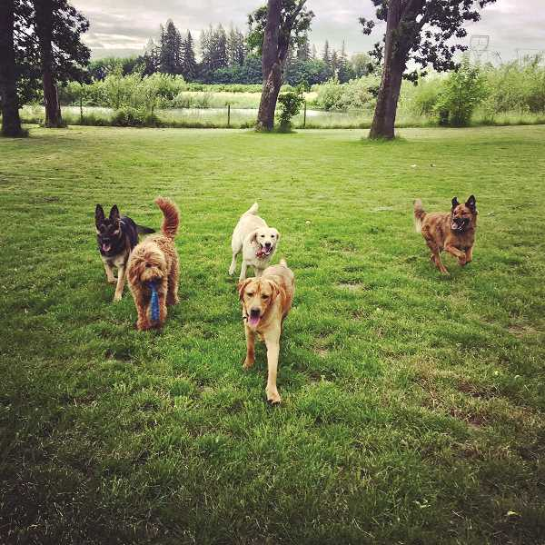 The 1.5 acre rural Clackamas County property (above) affords boarding dogs plenty of room to run and play.