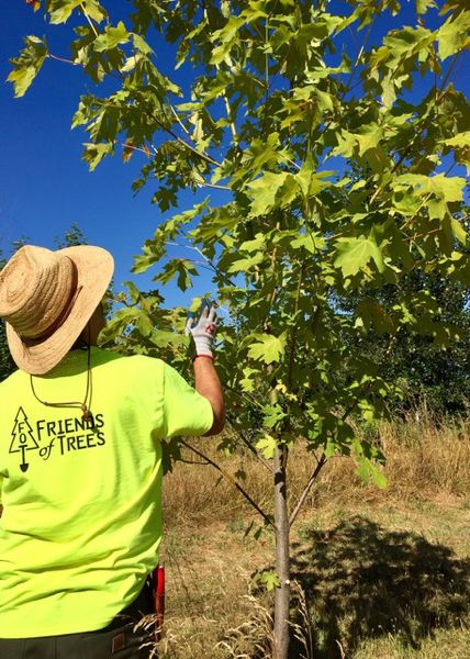 COURTESY OF CYNTHIA ORLANDO - For very young trees like this one, a very light pruning is usually all that is needed.