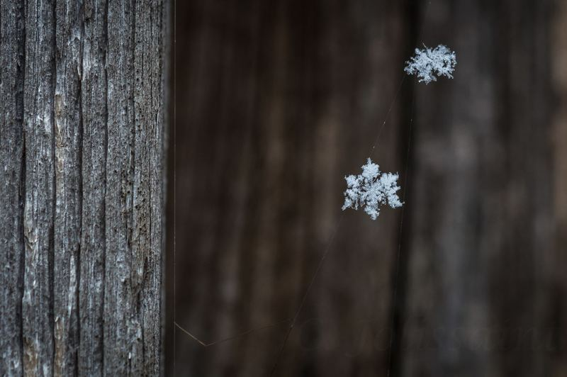 COURTESY PHOTO: CASEY JOLISSAINT - A photo submitted by Casey Jolissaint presents an artistic look at two snowflakes caught in a spider web in her St. Helens backyard.
