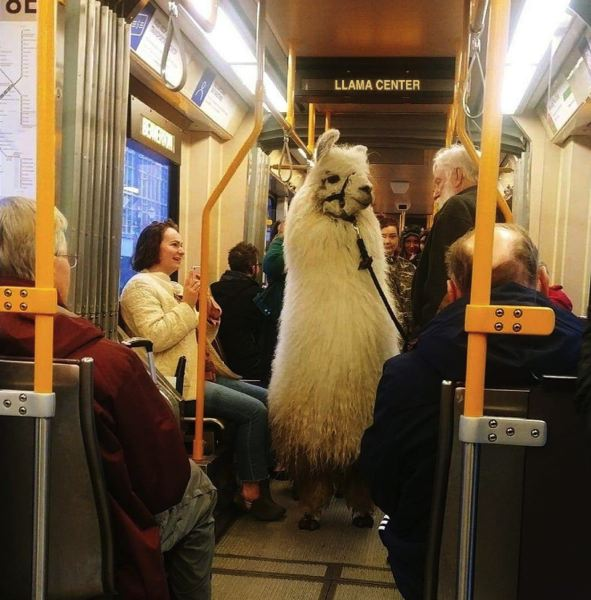 (Image is Clickable Link) VIA TRIMET TWITTER ACCOUNT - Caesar the No Drama Llama riding a MAX train near the Lloyd Center on Sunday, Feb. 24