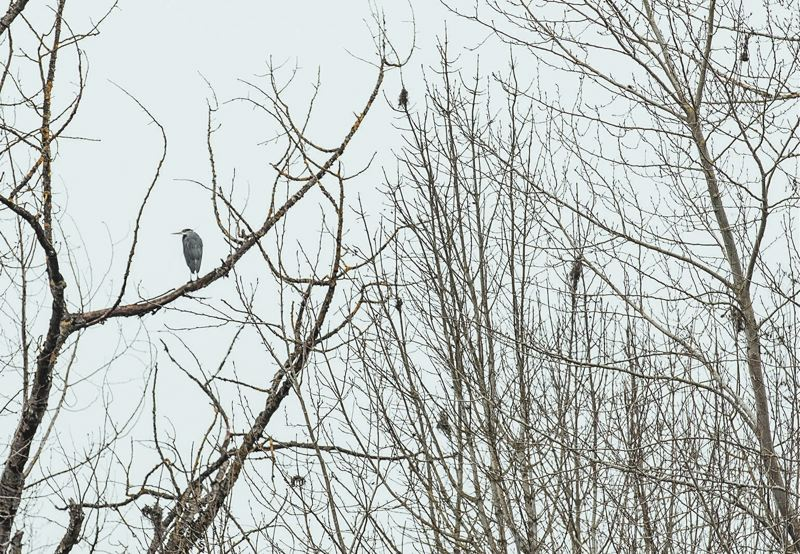 PORTLAND TRIBUNE: JONATHAN HOUSE - A heron hangs out on a tree branch outside the Wapato property in North Portland.