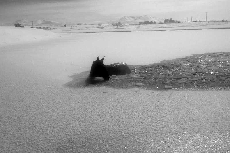 SUBMITTED PHOTO - Seekseequa, a 5-year-old rescue horse, jumps into the pond to save a filly, Ginger, that had fallen through the ice.