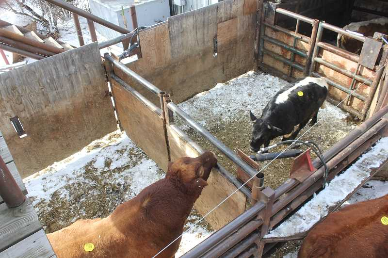 DESIREE BERGSTROM/MADRAS PIONEER - In the staging area, hydraulic gates allow operators to easily separate the cattle.