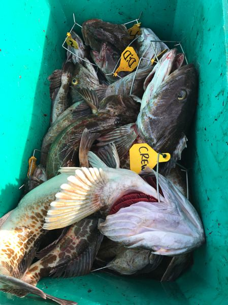 A 28-lingcod limit from the deep reef by Captain Rob Gerlitz of Garibaldi Charters on March 8.