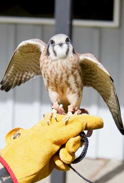 PMG PHOTO: CHRISTOPHER KEIZUR - Xena, an American Kestrel, was one of the Audubon Society of Portlands education birds on display during the event.