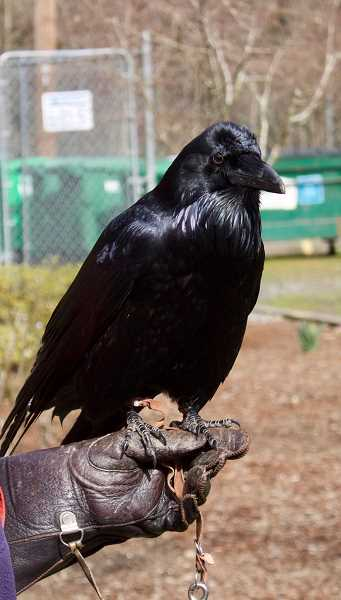PMG PHOTO: CHRISTOPHER KEIZUR - Aristophanes, a common raven, loves solving puzzles.