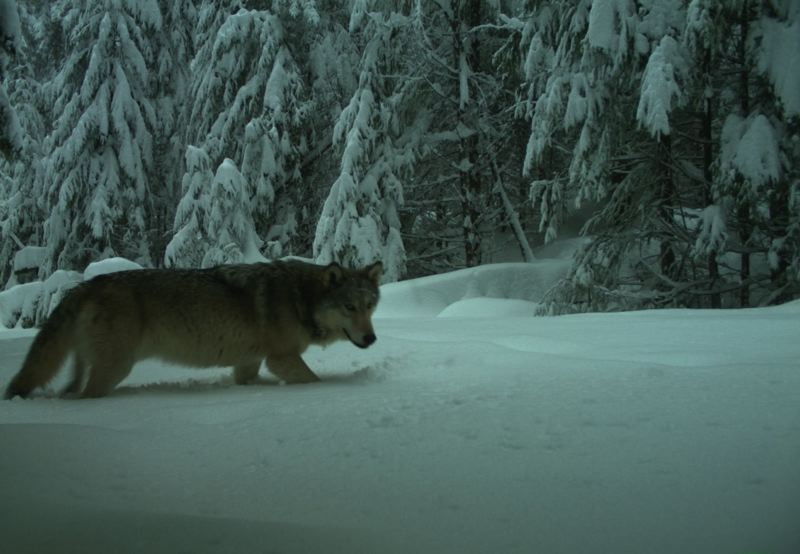 COURTESY ODFW - One of three wolves caught on camera and believed to be part of the Indigo Unit is shown here.