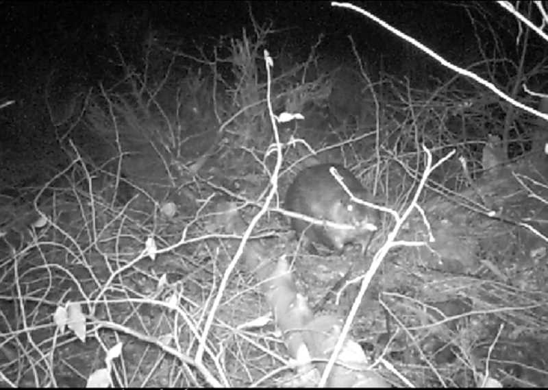 SUBMITTED PHOTO - After a restoration project by the Jefferson County Soil and Water Conservation District in 2008, beavers, including Bucky the Beaver, caught on camera here, have returned to a tributary of Trout Creek.