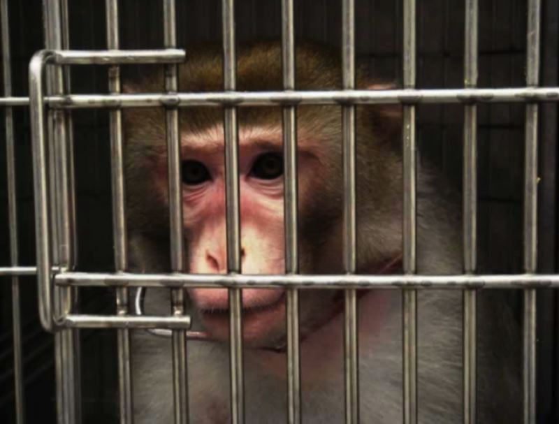COURTESY PETA - A monkey in a cage is shown here.
