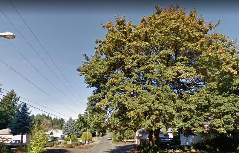 COURTESY IMAGE: GOOGLE STREET VIEW - This heritage big leaf maple is located on 19th Street.