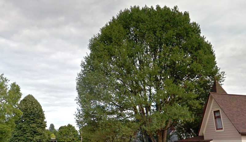 COURTESY IMAGE: GOOGLE STREET VIEW - This old white oak is located on Dillow Avenue.