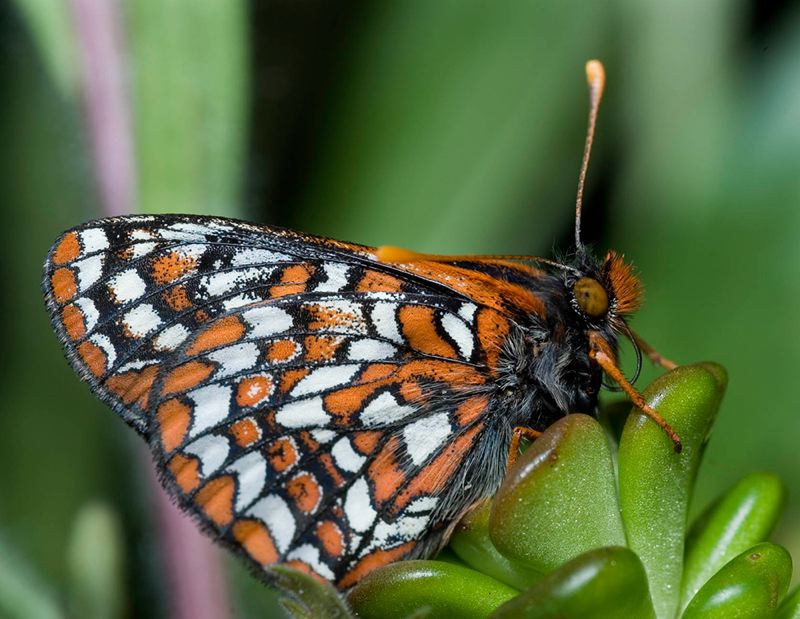 COURTESY: MICHAEL DURHAM/OREGON ZOO - Coffee Creek Correctional Facility inmates have helped raise Taylor's checkerspot butterflies.