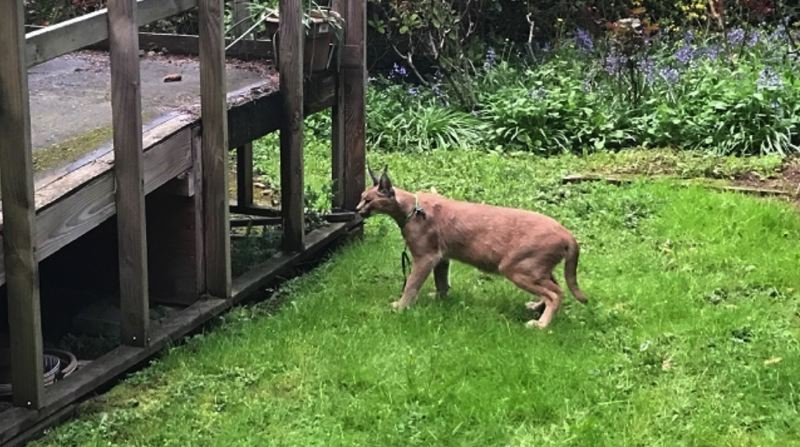 KOIN 6 NEWS - What appeared to be a pet caracal was on the loose in Northwest Portland Friday night, April 12.