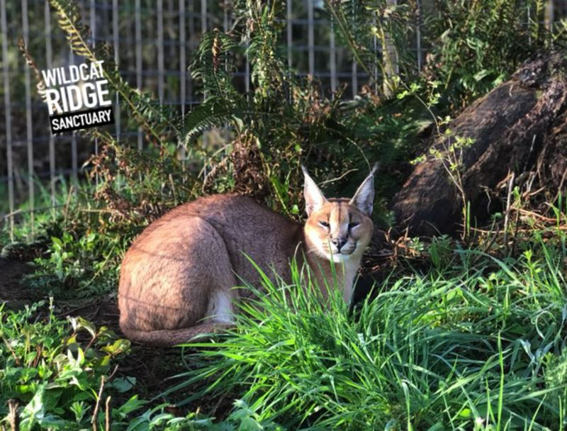 VIA WILDCAT SANCTUARY - Finnigan, 2, is a healthy African Caracal. He now lives in rural Marion County.