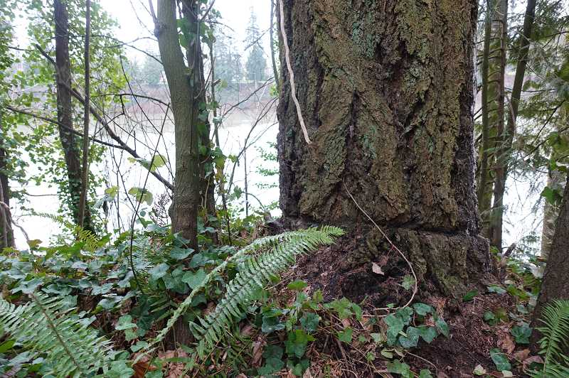 COURTESY PHOTO: CITY OF WILSONVILLE - Two scarred trees located in Memorial Park and along the Willamette River will receive state heritage tree distinction.