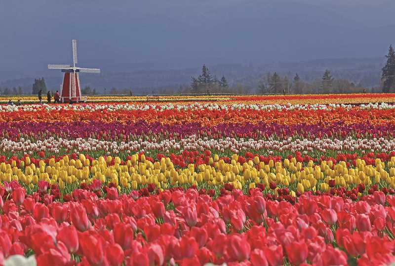 PMG FILE PHOTO - The Wooden Shoe Tulip Farms annual Tulip Festival features more than 1 million tulips in bloom.
