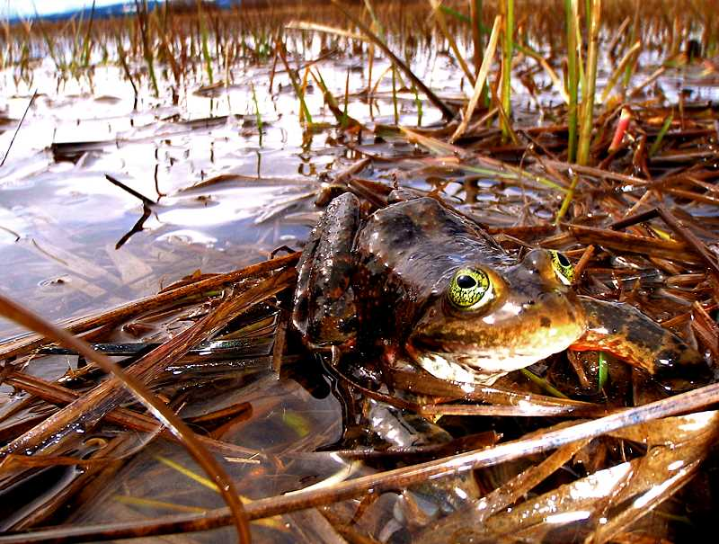 SUBMITTED PHOTO - The BPA practice of propagating wetlands beneath power lines has helped several species, including the Oregon spotted frog.