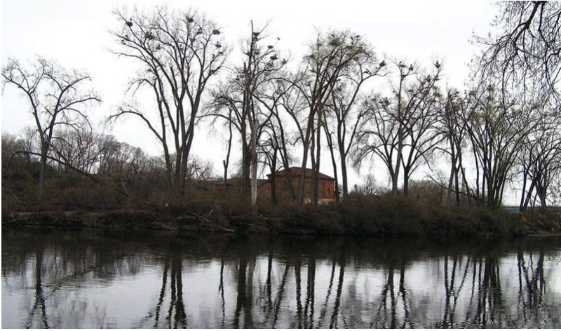 COURTESY PHOTO - Great blue heron can be seen nesting in cottonwood trees along the Willamette River.