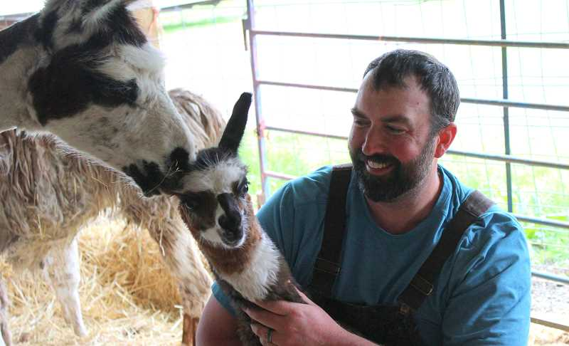 PMG PHOTO: COREY BUCHANAN - Justin Timm recently bought a herd of llamas that were neglected in Oklahoma.
