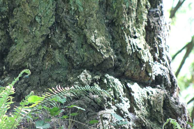 PMG PHOTO: LESLIE PUGMIRE HOLE - The hefty cables often left scars on the barks of trees used to anchor log rafts.