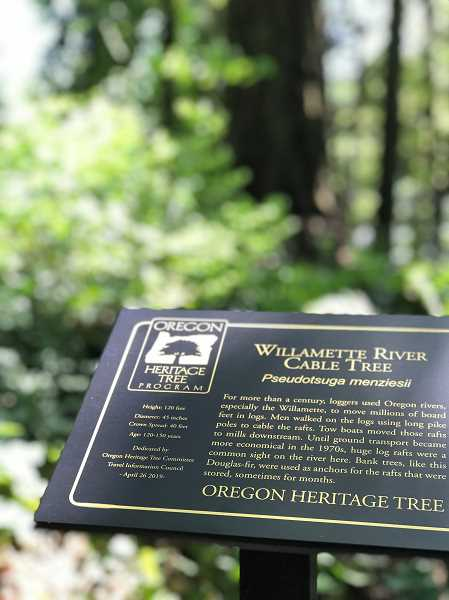PMG PHOTO: LESLIE PUGMIRE HOLE - While it's thought that the banks of the Willamette through Wilsonville are likely riddled with former anchor trees, most are on private property. The new heritage trees carry the distinction of being on public property where they can be viewed.