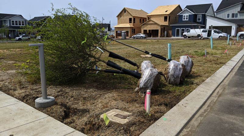 PAMPLIN MEDIA GROUP: JOSEPH GALLIVAN - Trees await planting at Reed's Crossing. Instead of big yards homeowners will have the greenway to exercise in.