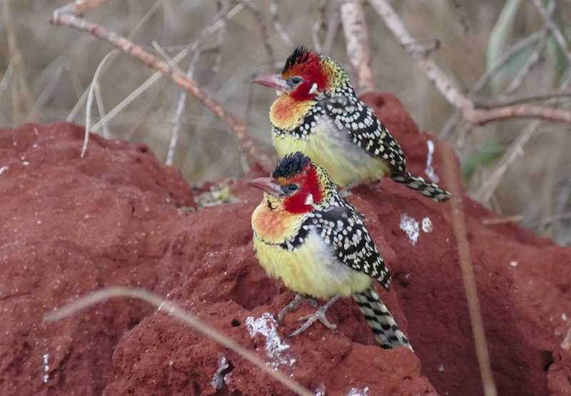 PHOTO BY NOAH STRYCKER - Strycker photographed red-and-yellow barbets in Kenya.